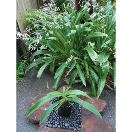 Rengarenga Lily