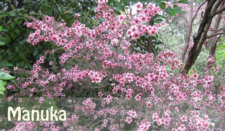 Manuka (Pink Flowering)